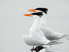 Day 4, Royal Terns, Mustang Island (annkelliott) Tags: usa us unitedstatesofamerica texas southtexas mustangislandstatepark nature wildlife avian bird royaltern thalasseusmaximus two adult sideview beach sand water outdoor 22march2019 nikon p900 nikonp900 coolpix annkelliott anneelliott ©anneelliott2019 ©allrightsreserved