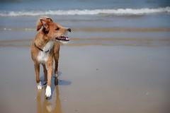 Dexter at Holkham Beach (dkbristow) Tags: terrier patterdale pet nikon happy beach portrait dog