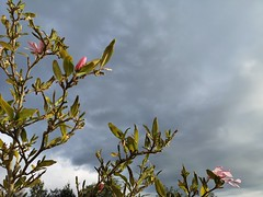 Incoming Storm (mcginley2012) Tags: sky cloud darkcloud magnolia flower light cameraphone huaweip20pro ireland