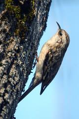 Пищуха (Yuriy Kuzmenok) Tags: птицы птица природа пищуха
