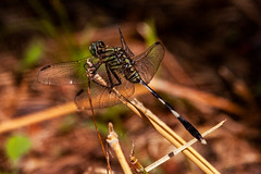 Dragonfly (Markus Branse) Tags: dragonfly northernterritory australia outdoors wings leave dof libelle makro insekt litchfield nationalpark northern territory austalia australien austral austrlaie aussie oz nature natuur natur insekten insects insect fluginsekt kleintier tiere tier animal animals animoux dieren monssonforest wang falls