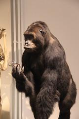 Chimpanzé (Sp6mEn Pics) Tags: taxidermie animaux empaillés disparus vivants lille france hautsdefrance nord lynx araignée loup dinosaure oiseau squelettes mammifère marin momie insects