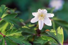 flower (Kamil Gawlak) Tags: nature flower white green leafs closeup flora spring