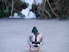 I'm off somewhere warm (KPopp1) Tags: snow duck ice frozen canal