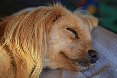 Sleeping Gizmo (zeity121) Tags: puppy dog pet gizmo