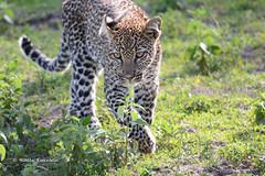 BK0_3577 (b kwankin) Tags: africa leopard ndutu serengeti tanzania