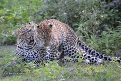 BK0_3536 (b kwankin) Tags: africa leopard ndutu serengeti tanzania