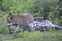 BK0_3532 (b kwankin) Tags: africa leopard ndutu serengeti tanzania