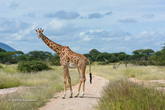 BK0_7456 (b kwankin) Tags: africa giraffe ruahanationalpark tanzania