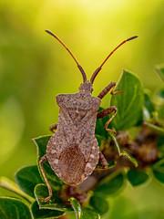 Dock Bug (niloc's pic's) Tags: dockbug coreusmarginatus bug insect bexhillonsea eastsussex panasonic lumix dmcgx7