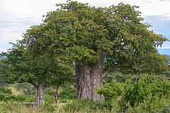 BK0_7143 (b kwankin) Tags: africa baobab flora landscape ruahanationalpark tanzania
