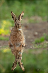 Reflection of a Hare [Explore #4] (Gertj123) Tags: mammals netherlands nature water wildlife ears eyes reflection winter spring canon green hide holterberg arjantroost animal