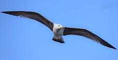 Gaviota (salkalero) Tags: gaviota vuelo cielo azul ave pájaro