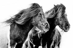 Terschellinger paarden (Guido Havelaar) Tags: horse paard horses pferde