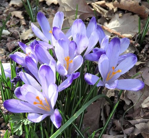 Kevätsahrami (Crocus vernus)