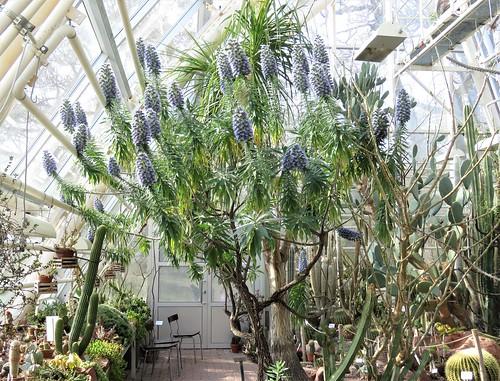 Jandianneidonkieli (Echium handiense)