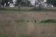 Short Eared Owl (jamiemcd17) Tags: owl shortearedowl seo birdofprey wild wildlife bird nature nikon