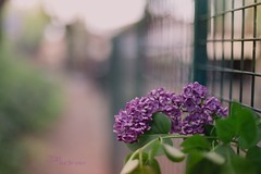 Lilac and the fence _ week 17/52 My diary: with flowers (pierfrancescacasadio) Tags: aprile2019 22042019840a9226 hff happyfencefriday fence lilac 50mm wideopen bokeh lillà f14