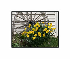 WaGoN WhEeL dAfFoDiL (cdn.slacker) Tags: daffodil wagonwheel yellow flower spring canong15 canon g15 april25th focus exposure composition like wood rustic floral arrangement canada photo border comment feelfreetocomment nik light shadow