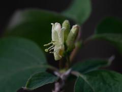 Fly Honeysuckle (François dt) Tags: canon 6dmarkii canon6dmarkii nature macro flower tree wildflowers