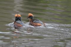 Mustakurkku Uikku (TheSaOk) Tags: mustakurkku uikku linnut lintukuva luontokuva yleluonto lampi bird birdlife wildfowl wildlife pond finland