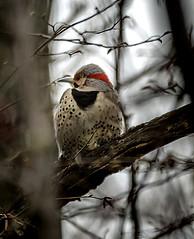 Eyes... Right (!) (Portraying Life, LLC) Tags: cropapsc dbg6 hddfa150450 k1mkii michigan pentax ricoh topazaiclear unitedstates bird closecrop handheld nativelighting