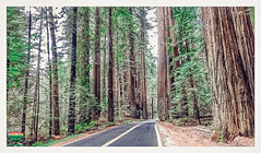 AVENUE OF THE GIANTS-HUMBOLDT STATE PARK-HDR-2016-2020WX1180H-300PPI-2019 © Cody Jacobson-ZEN MOUNTAIN MEDIA all rights reserved (codyjacobson@zenmountainmedia.com) Tags: landscape forest road redwoodhighway avenueofthegiants humboldt ca photoshop aurorahdr2019 luminar3 trees giants sempervirens sequoia ferns foliage overcast morning scenic stateparks colors colorful beauty beautiful life travel tourism roadtrip love preservation environment green california 20162019