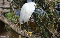 The only kind of snow I like (Shannon Rose O'Shea) Tags: shannonroseoshea shannonosheawildlifephotography shannonoshea shannon snowyegret egret bird beak feathers wings white yelloweye yellowfeet egrettathula outdoors outdoor outside colorful colourful branch branches trees leaves flowers alligatorbreedingmarshandwadingbirdrookery gatorland orlando florida gatorlandbirdrookery rookery nature wildlife waterfowl art photo photography photograph flickr wwwflickrcomphotosshannonroseoshea smugmug camera canon canoneos80d canon80d canon100400mm14556lisiiusm eos80d eos 80d canon80d100400mmusmii skinnylegs longtoes birdyfeet femalephotographer girlphotographer womanphotographer naturephotographer shootlikeagirl shootwithacamera throughherlens thl birdphotographer talons claws