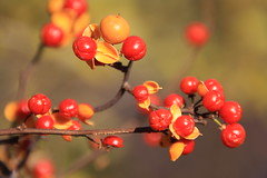Chinese Hawthorn (Yuri Dedulin) Tags: autumncolors dedulinyuri denville fallcolors fallfoliage nature newjersey parks tournepark flower plant red rosehip fruit rowan winterberry hawthorn sorbus heteromeles chinesehawthorn ilexvomitoria food tree outdoors berry leaf wood horizontal selectivefocus nopeople blur branch nonurban day tourne nj macro yuri dedulin