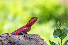 Isn't He Handsome? (Jill Clardy) Tags: africa kenya vantagetravel safari transmara riftvalleyprovince mwanza flatheaded rock agama 201902269l8a2351 maasai mara triangle reserve national park lodge lizard purple red scales scaly reptile violet
