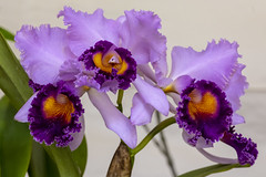 XXI Exposición Nacional de Orquídeas (José M. Arboleda) Tags: orquídea catleya flor exposición premio concurso popayán colombia canon eos 5d markiv ef70200mmf4lisusm josémarboledac