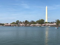 Washington Monument In Bloom (rachelkidwell93) Tags: cherry blossom trees bud budding spring summer seasonal japanese exotic plants nature natural landscape wide monument history architecture memorial washington dc event festival fest tidal basin water reservoir reflection sky clouds global people crowd city urban sunny
