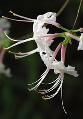 Piedmont Azalea (philipbouchard) Tags: azalea piedmontazalea mountainazalea wildazalea rhododendroncanescens ericaceae shrub flower wildflower pink georgia cherokeecounty garlandmountain hiking trails
