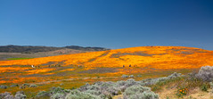 20190413 super bloom rg 138182.jpg (The City Project) Tags: poppy landwaterconservationfund preserve superbloom antelope valley lancaster ca