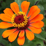 Orange Zinnia - Sevierville, TN thumbnail