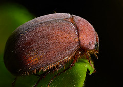 Fuzzy Beetle (Craig Tuggy) Tags: thailand chaam beetle insect fuzzy red nature stack reverse lens