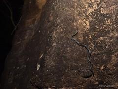 Broad-headed Snake (Hoplocephalus bungaroides) climbing a vertical sandstone wall in Sydney's South (Jesse's Wildlife) Tags: sydneyherping rare venom scales jessecampbell jesseswildlife snake herping sandstone endangered elapid hoplocephalusbungaroides broadheadedsnake