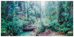 JEDEDIAH SMITH REDWOODS-FOREST RIVER-PANO-HDR-2019-4132WX2060H-300PPI © Cody Jacobson-ZEN MOUNTAIN MEDIA all rights reserved (codyjacobson@zenmountainmedia.com) Tags: landscape photography photoshop aurorahdr2019 forest forestry preservationriver log ferns foliage redwoods sempervirens statenationalparks water colors colorful green environment scenicpanoramic view beautybeautifullifelovehiking traveltourismwinter hdr rich vivid daylight late afternoon overcastglare sun emerald tones light californiasmithriver jedediahsmith zenmountainphotographydesign codyjacobson 2019