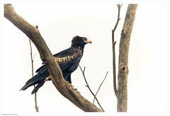 Wedge Tailed Eagle2 (XT2&5D4) Tags: birds birdsofprey eagle wedgetailed