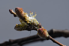 Scouler's Willow - Salix scouleriana (jbinpg) Tags: scoulerswillow salixscouleriana malecatkins princegeorge bc canada