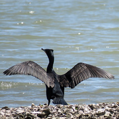 Day 3, Cormorant drying its wings, Aransas boat trip (annkelliott) Tags: usa us unitedstatesofamerica texas southtexas aransasnationalwildlifereserve day3 boattriponladylori nature wildlife avian bird cormorant doublecrestedcormorant wingsspread dryingwings gravelbar water aransasbay outdoor 21march2019 canon sx60 canonsx60 powershot annkelliott anneelliott ©anneelliott2019 ©allrightsreserved