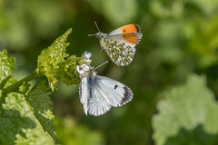 Orange Tips courting (Tim Melling) Tags: anthocharis cardamines orange tip butterfly butterflies courting south yorkshire timmelling