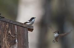 Wyre Forest-5052311 (seandarcy2) Tags: birds wildlife flycatchers pied pieflycatchers wyre forest uk wild avian summermigrants
