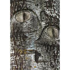 Cat... imagined (Robyn Hooz) Tags: paraeidolia fimon lago albero cat corteccia skin smile fantasia eyes sorriso natura vicenza
