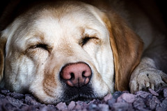 sleepy dog (A.K. 90) Tags: dog animal tier pet haustier hund labrador sleep schlaf outside closeup portrait sonyalpha6300 e18135mm3556oss