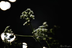Lights And Cow Parsley