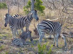 Zebra (peterkaroblis) Tags: zebra hippotigris equusquagga