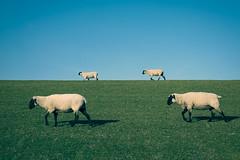 2x2 x (2/2) (Pascal Riemann) Tags: deutschland greetsiel deich säugetier tier natur schaf nordsee landschaft animal germany landscape mammal nature outdoor northsea sheep