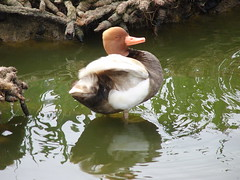 Nudge Nudge - Wink Wink.... (Glass Horse 2017) Tags: durham shottoncolliery hornsgardencentre nursery waterfowl ponds montypythonmoment nudgenudge redcrestedpochard duck featheryfriday