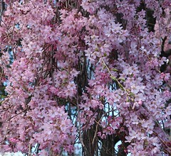 Easter Colours - Tree in Flower (Pushapoze (MASA)) Tags: pink tree arbre rose explore